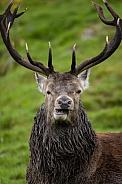 Red Deer Stag - Scottish Highlands
