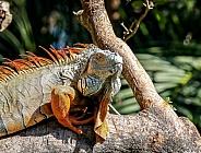Iguana in South Florida
