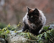 Black longhaired Kitten