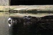 Sunda Gharial Crocodile