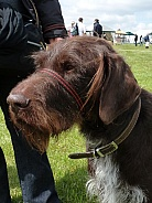 Wire Haired German Pointer dog