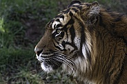 Sumatran Tiger Close Up Side Profile