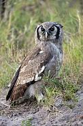 African Marsh Owl - Botswana