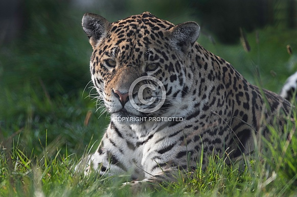 Jaguar Lying in the Grass