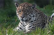 Jaguar Lying in the Grass