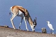Springbok antelope - Namibia