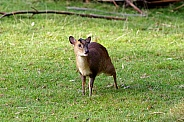 Young Reeves's muntjac calling