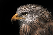 Red Kite Side Profile Head Shot Close Up