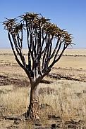 Quiver Tree (Aloe dichotoma) - Namibia