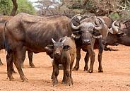 Buffalo Kruger RSA