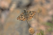 Mallow Skipper Butterfly