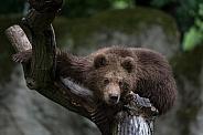 Brown Bear - Kamtschatka Bear