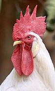 White Leghorn Rooster Portrait