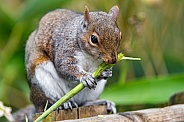 Irish Squirrel