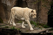 African White Lion