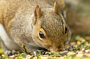 Grey Squirrel Snacking