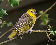 weaver bird-female