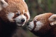Red Panda Cubs Close Up Together