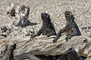 Marine Iguana warming up in the sun - Galapagos Islands