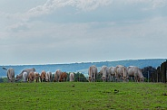 Dutch cows grazing