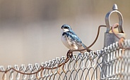 A Tree Swallow in Alaska