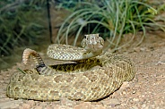 Prairie Rattlesnake Coiled to Strike