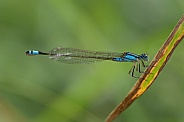 Common Bluetail Damselfly.