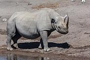 Black Rhinoceros - Namibia
