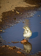 Young white wagtail
