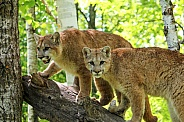Pair of Young Cougars (Mountain Lions)