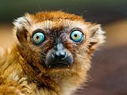 Sclaters Lemur