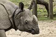 Greater One Horned Rhino Close Up