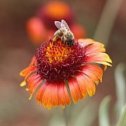 Honey Bee On Blanket Flower