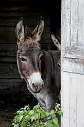 Donkey looking for dinner