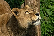 Female lion, close up, side profile