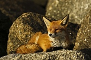Red Fox enjoying the afternoon sun