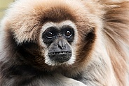 Lar gibbon close up