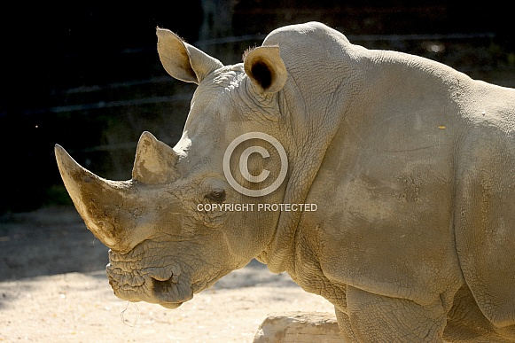 White Rhino Close Up