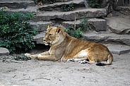 Lioness lying in the sand