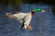 A Mallard in flight