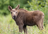 Moose calf in a green grass field