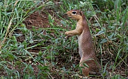 African Squirrel