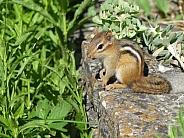 Young Chipmunk in Garden