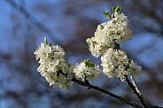 white cherry tree blossoms