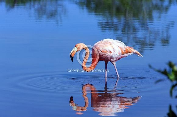 American flamingo - Galapagos Islands