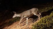 Mule deer doe at night