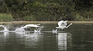 Trumpeter Swan Pair Flying in Alaska