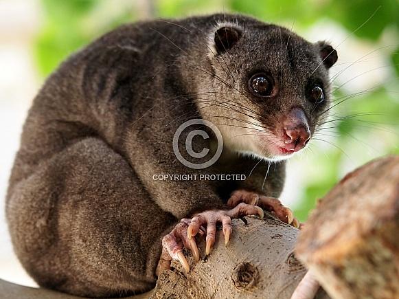 Ground cuscus (Phalanger gymnotis)