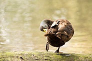 Brown duck preening (wild)