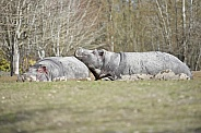 Pair of Hippos